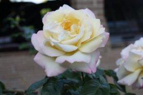 mamas-roses