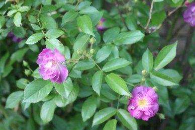 Mamas Purple blossoms